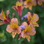 Peruvian Lily12