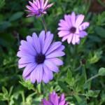 Purple Daisies12