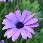 Purple Daisy12