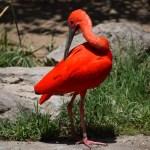 Scarlet Ibis212