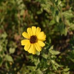 Yellow Daisy12