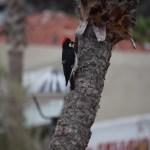 Acorn Woodpecker12