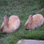 Bunny couple12