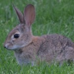 Bunny in the grass12