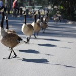 Canadian Geese on a stroll12
