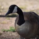 Canadian Goose closeup12