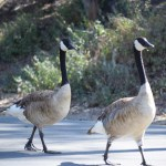 Canadian Goose couple on a walk12