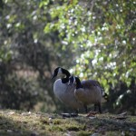Canadian Goose couple12