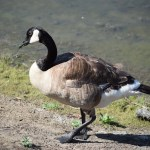 Canadian Goose112