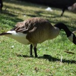 Canadian Goose12