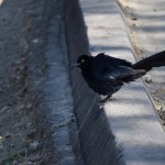 Great-tailed Grackle is ready to sing12