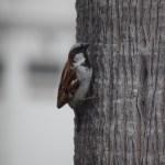 House Sparrow12