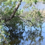 Tree leans over a lake12