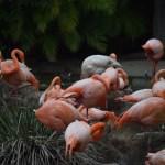 Caribbean Flamingo flock12