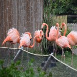 Caribbean Flamingos at dance12