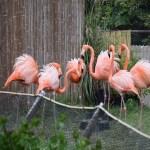Caribbean Flamingos at dance12