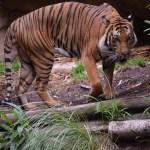Majestic tiger12