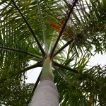 Palm tree from below along the trunk12