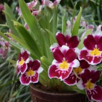 Pansy Orchids in pot12