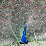Peacock12