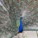 Peacock212