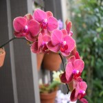 Pink Moth Orchids12