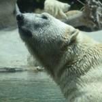 Polar Bear portrait12