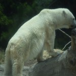 Polar Bear12