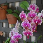 Purple Orchid with yellow dots12