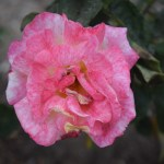 Rose-Sheila`s Perfume12