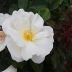 Rose-Whiteout12