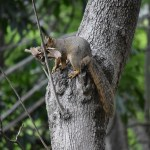 Squirrel with nest material12