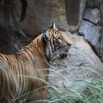 Tiger is listening12