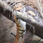Tiger leans on tree branch12