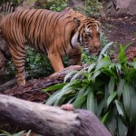 Tiger on walk12
