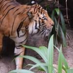 Walking tiger12
