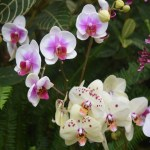 White and beige orchids12