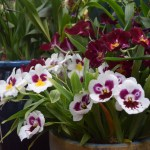 White and claret orchid12