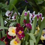 White,yellow and claret orchids12