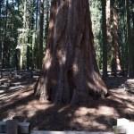 A giant sequoia12