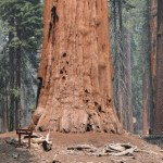 Base of McKinley Tree12