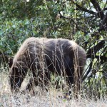 Black bear near the road in Sequoia12