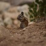 Golden-mantled ground squirrel having snack12
