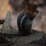 Golden-mantled ground squirrel on a rock12