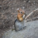 Golden-mantled ground squirrel with its lunch12