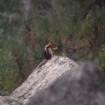 Golden-mantled ground squirrel12