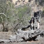 Massive dead tree trunk12