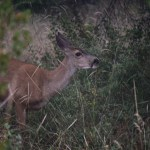 Mule deer portrait12