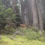 Pine trees on a hillside12