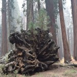 Pine trees on the root of a fallen giant12